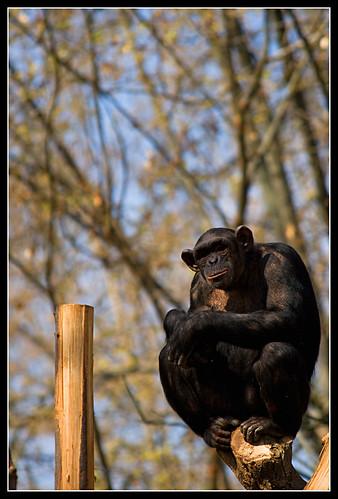 chimpance