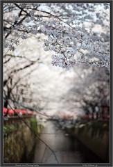 Megurogawa Sakura