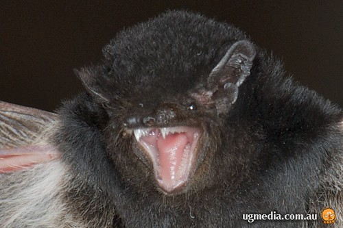 Little pied bat (Chalinolobus picatus)