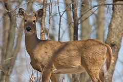 Cautious Deer (Emerald Park, Illinois, United States) Photo