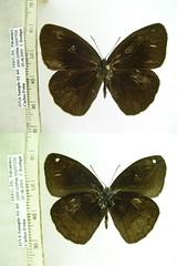 Forsterinaria pichita