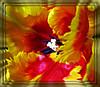 Making a Statement (dart5150) Tags: orange flower color macro yellow tulip glam platinumphoto goldstaraward awesomeblossoms cffaa