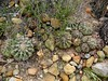 Coast barrel cactus - rare elsewhe…