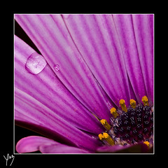 Your tears in a flower (Moments by Xag) Tags: flower macro tears purple flor gota lagrimas morado xag ltytrx5 ltytr2 ltytr1 ltytr3 a3b goldstaraward