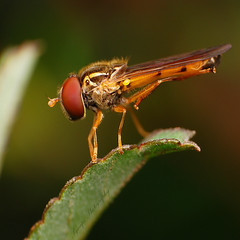 Highland Hoverfly (synapz557) Tags: macro top quality insects images only sagada mtprovince macroextreme nikkor1855mm macrolicious d80 reversering exttube rockinn macrolife vosplusbellesphotos synapz557