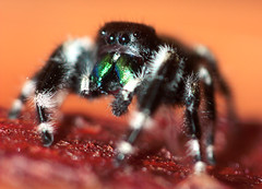 Bite Me (curious_spider) Tags: hairy white black bug arachnid jumpingspider banded mandibles chelicerae greenfang painfulbite mostcommonspiderbite almostadorable
