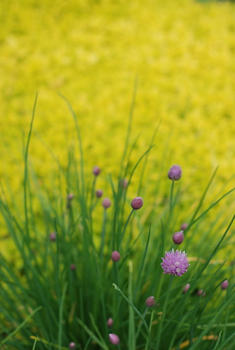 Chives and Golden Oregano