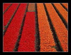Tulipfield (Jan van der Wolf) Tags: red orange netherlands tulips repetition rood tulpen bulbfield bollenveld tulpenveld herhaling mygearandmepremium mygearandmebronze mygearandmesilver mygearandmegold mygearandmeplatinum mygearandmediamond