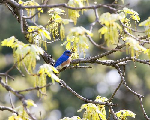 BluebirdSpringdale05052009JGWardIMG_0648