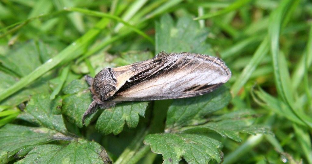 Swallow Prominant (Pheosia tremula)