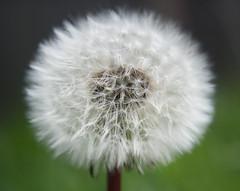 Dandilion head (des.butterfield) Tags: flowers summer white springtime theworldwelivein