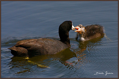 Coot & Chick
