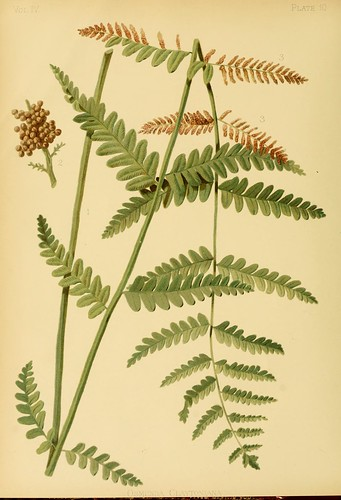 Claytons Flowering Fern
