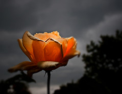 Light on dark days (D.Reichardt) Tags: flower nature weather rose germany dark europe day stubben