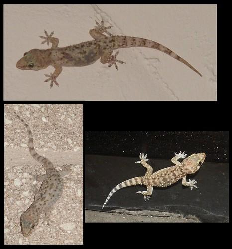 Mediterranean Geckos