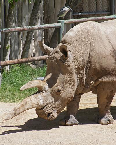 White Rhino and friend