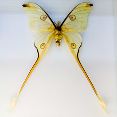 CC337 Insect Museum (listentoreason) Tags: usa color nature animal yellow closeup museum america canon insect newjersey unitedstates moth favorites places lepidoptera animalia arthropoda uncertain invertebrate arthropod tomsriver insecta pterygota neoptera endopterygota ef28135mmf3556isusm score30 lepidopteran bugmuseum insectropolis specifictaxonomyappreciated ifyouknowwhatthisisletmeknow bugseum