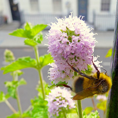 tasty, tasty mint (gorgeoux) Tags: uk plant flower green london leaves insect eating balcony mint bee lilac grapefruit squared potted chezgorgeoux