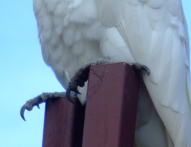 cockatoo claws