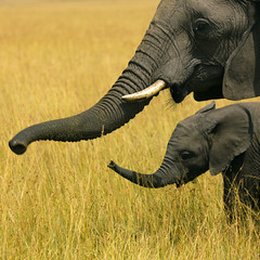 Mother and baby elephants - Kenya (Eric Lafforgue) Tags: africa park baby elephant game animal kenya mother culture tribal safari tribes afrika bebe gps tradition tribe ethnic mere kenia tribo afrique noahsark masaimara ethnology tribu eastafrica brousse 627 qunia lafforgue ethnie  qunia    kea   magicunicornverybest  a