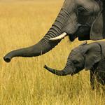 Mother and baby elephants - Kenya