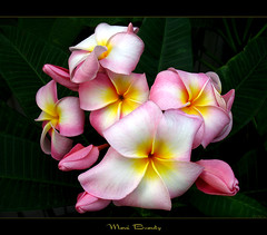 The Plumeria Maui Beauty (mad plumerian) Tags: flowers beauty canon hawaii florida plumeria maui exotic hawaiian frangipani rare tropicals tropicalflowers a620 hybrids rareplant landscapephotography rareplants exoticflowers flowersinbloom rareflowers rareplantsflowers hybridflowers