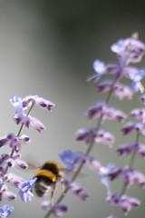 Parc Floral - Vincennes-58 (MissDogo) Tags: paris macro fleur closeup animaux parc insectes vincennes parcfloral bourdon proxyphoto hym hyménoptères hymnoptres