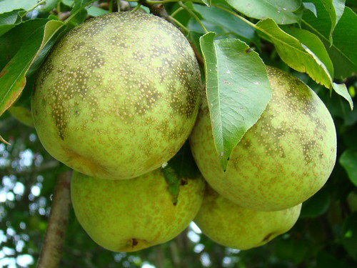 Bartlett Pears 8-8-09