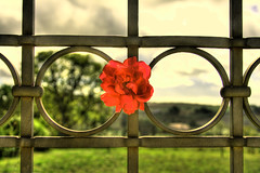 The Gate's Rose (esinuhe69) Tags: red italy rose gate iron italia rosa tuscany toscana cancello ferro rossa theunforgettablepictures platinumheartaward esinuhe69
