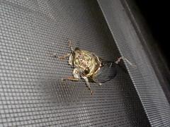 Cicada on front door