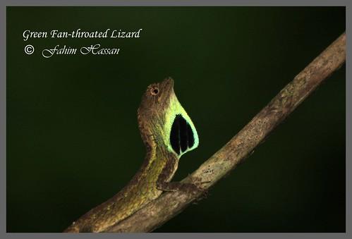 Green Fan-throated Lizard