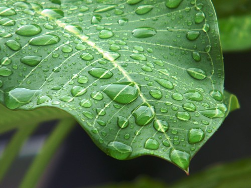 Rain on plumeria 6
