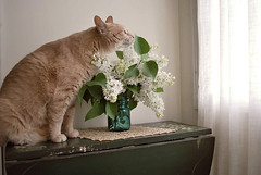Gypsy & Lilacs (summer_lily) Tags: home cat spring gypsy lilacs whitelilacs