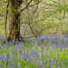 It's A Blue Bell Woodland