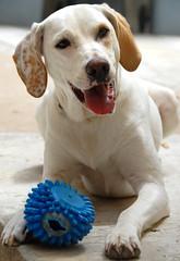 "Ma chienne ""Fidji"" (alainGB) Tags: dog chien france nikon labrador pointer chienne d200 nikkor hybrid var femelle 18200mmf3556gvr"