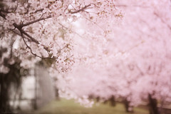 the dreamlike moment (y2-hiro) Tags: pink flowers japan cherry spring nikon blossoms 2470mm