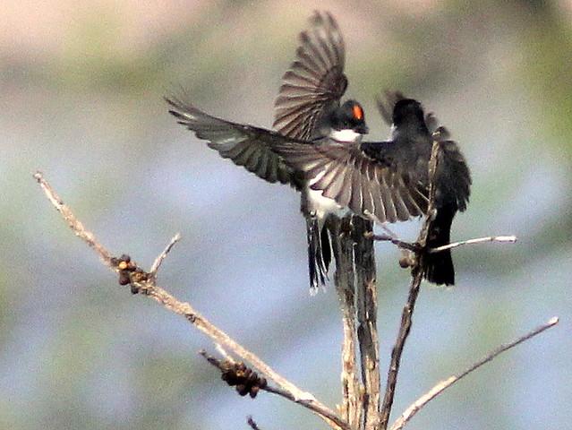Eastern Kingbird scuffle 20110810