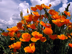 Amapola de California *Eschscholtzia californica (jacilluch) Tags: orange flower macro fleur flor blossoms poppy fernando eschscholzia rosella campanilla naranja californiapoppy coquelicot californica goldenpoppy papaveraceae poppys amapola cornpoppy papoula gineceo raso asilvestrada escholtzia ababol mitxoleta dedaldeoro papaverorosso amapoladecalifornia papuela rossopapavero rasete eschscholzieae
