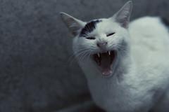 DSC_8907 (H2@Japan) Tags: street japan cat tokyo nikon kitty 東京 猫 d300