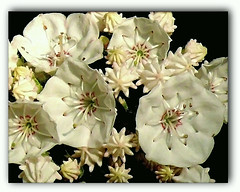 Mountain Laurel from the Pennsylvania Grand Canyon (pinecreekartist) Tags: flowers macro wellsboro chiaramonte pennsylvaniagrandcanyon wellsboropa aplusphoto wowiekazowie excellentsflowers llovemypics awesomeblossoms pigawards bestflickrphotography pinecreekartist tiogacountypachiaramonte