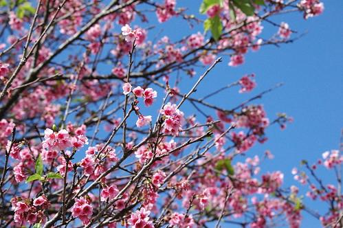 Wahiawa Cherry Blossoms