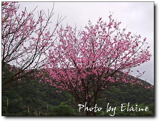 三芝櫻花道3