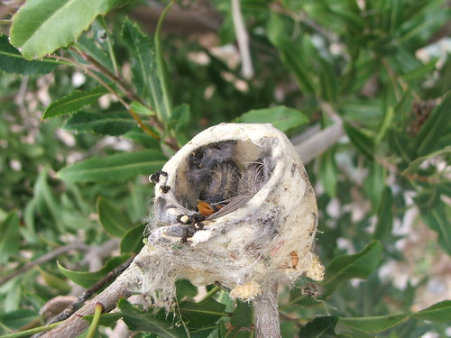 Hummingbird Babies in the Nest
