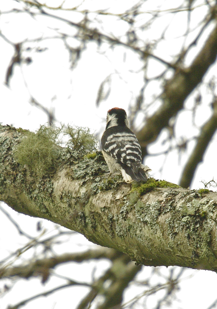Lesser Spotted Woodpecker male