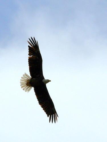 Eagle Soaring 20090315
