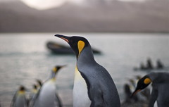 King penguins (wili_hybrid) Tags: birds penguin penguins photo photos picture pic southgeorgia rts colony kingpenguin interestingness448 randomtravelerssociety
