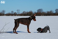 Campary and Villi (Liisaz88) Tags: snow fun nikon estonia play land villi dobermann flox campary legrant