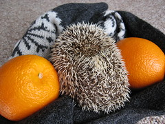 Marathon camouflage (Go! Shawn!) Tags: orange pet cute scarf marathon adorable hedge oranges hog quils erinaceinae