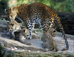 Family Sri Lanka Leopards (Foto Martien) Tags: holland netherlands dutch animal cat zoo cub kat brothers arnhem young nederland leopard bigcat srilanka ceylon wildcat veluwe burgerszoo jong panter gelderland dierenpark luipaard rimba panthera whelp welp srilankaleopard srilankapanter pantheraparduskotiya burgersdierenpark aplusphoto flickraward eliteimages platinumheartaward kotiya sonyalpha350 flickrbigcats ceyloneseleopard ceylonpanter martienuiterweerd mostbeautifulpicturembpictures fotomartien