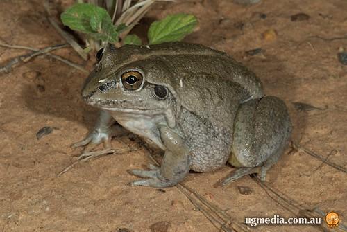 Green-striped burrowing frog (Cyclorana alboguttata)